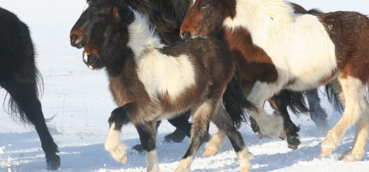 Våra hästar: Draumur frá Hléskógum