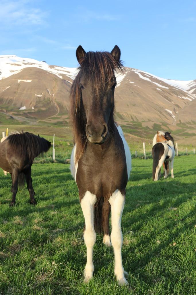 Dama 2 år. e: Sjarmi frá Hléskógum u: Dama frá Akureyri. (Såld)