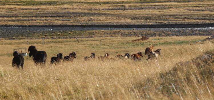 Sommarsäsongen avslutad och alla hästar hemma